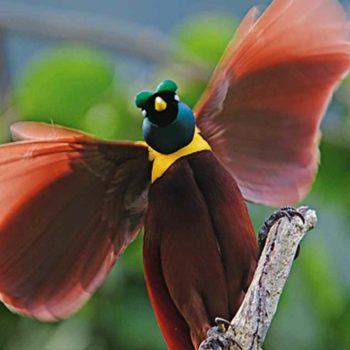Красивое оперение райских птиц