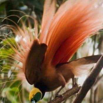 Танец райской птицы