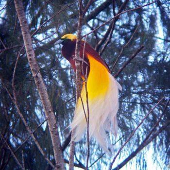 Яркая райская птица