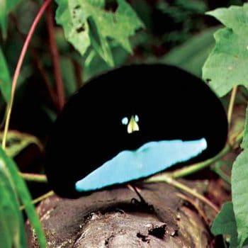 Самец райских птиц