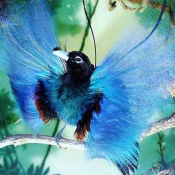 Синяя райская птица