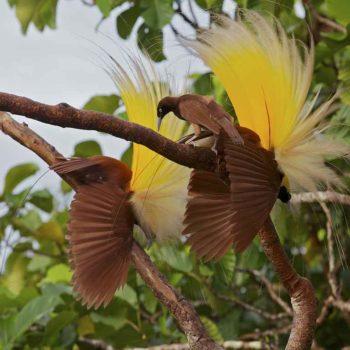 Райские птички - брачный танец