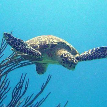 Барбадосская черепаха