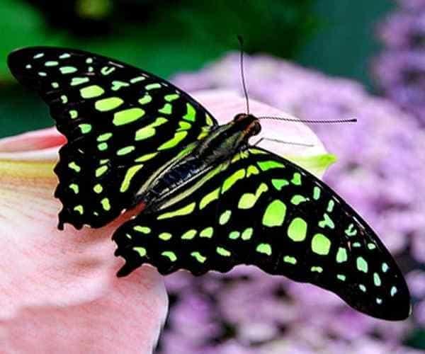 Черно-зеленая бабочка