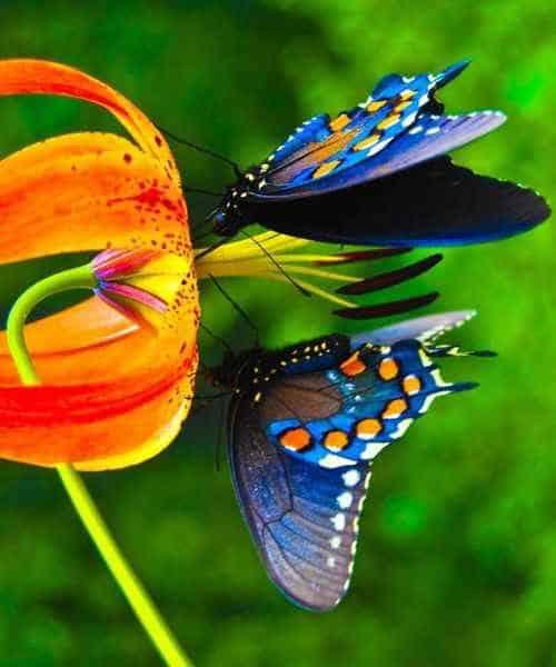 Синие бабочки на цветах