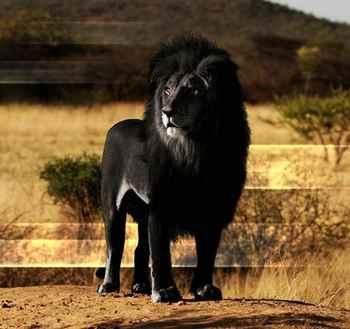 Лев с меланизмом