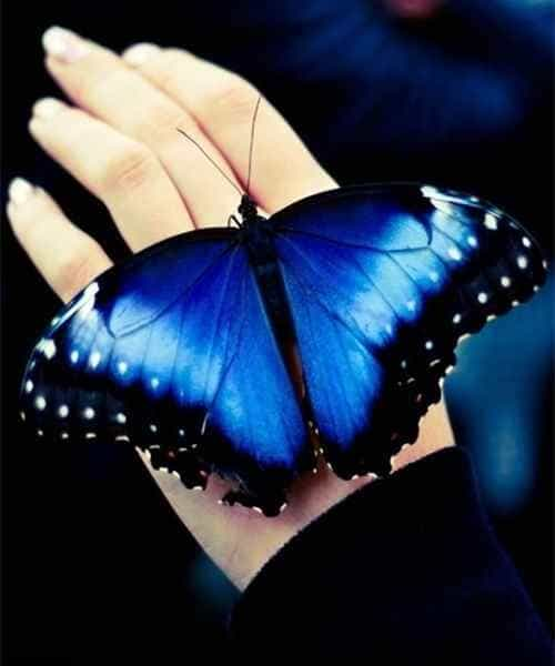 Большая синяя бабочка