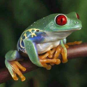 Лягушка с красными глазами