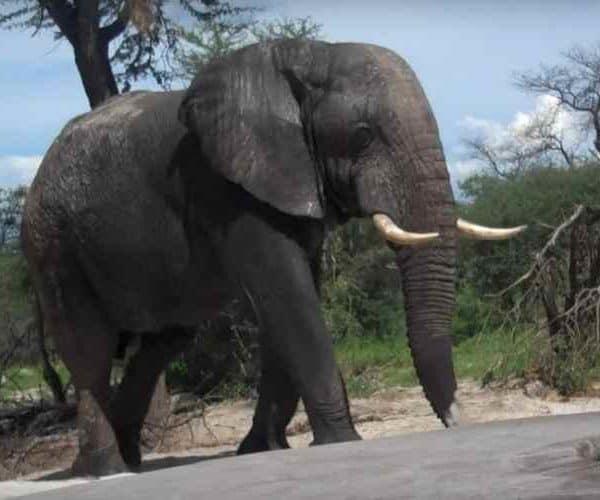 Слон просил помощи у людей