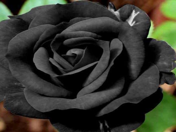 Черные цветы в саду