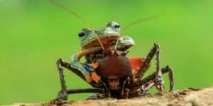 Лягушка верхом на кузнечике