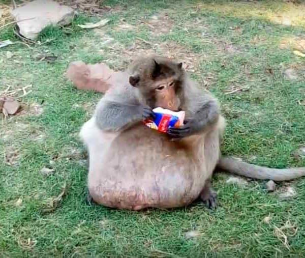 Толстая обезьяна