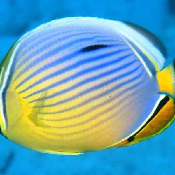 Трехполостные рыбы-бабочки
