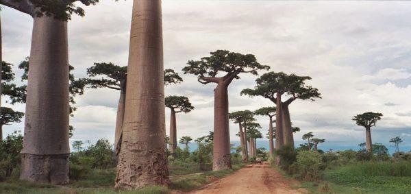 Баобаб - самое большое дерево в мире