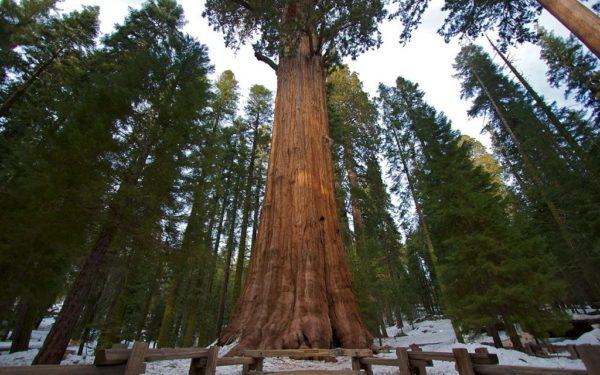 Самые высокие деревья