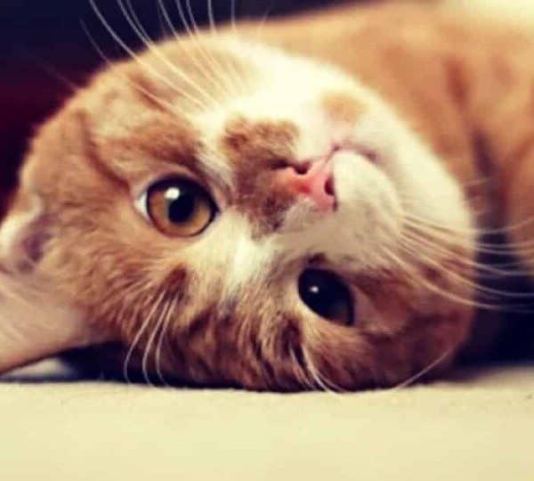 Самый толстый кот