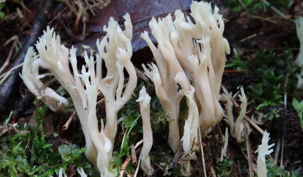 коралловый гриб где растет