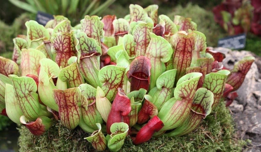 Растения хищники фото и название