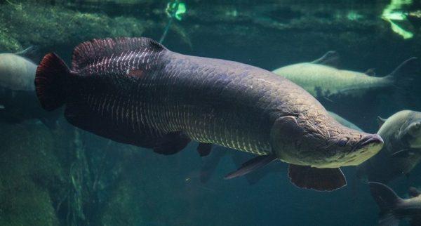 Самая большая рыба Амазонки