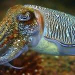 Каракатица
