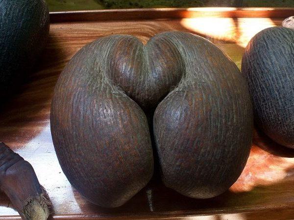 Самый большой орех