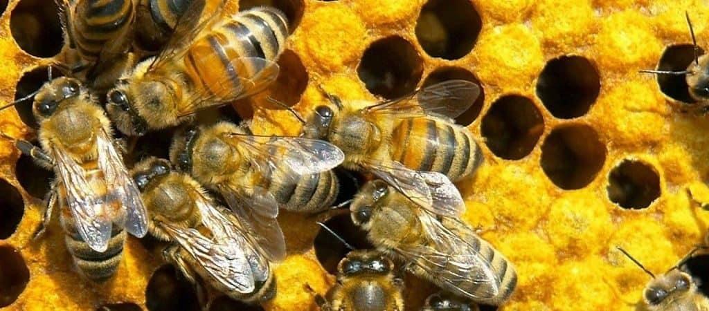 Самые интересные факты о пчелах