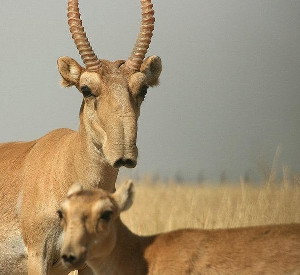 Антилопа сайгак