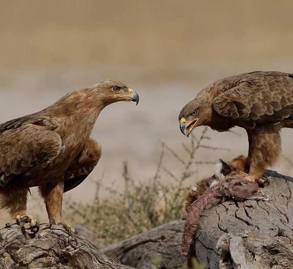 Самец и самка степного орла