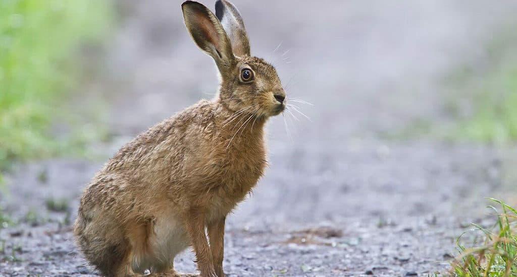 Краткая информация о зайце беляке