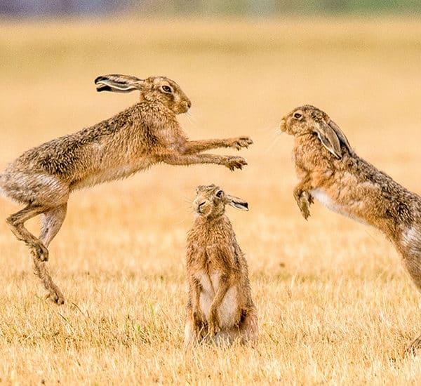 Зайцы в брачный период