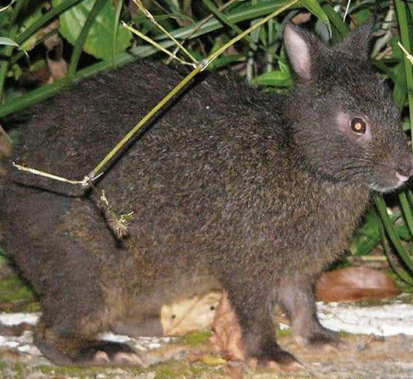 Древесный заяц из Японии