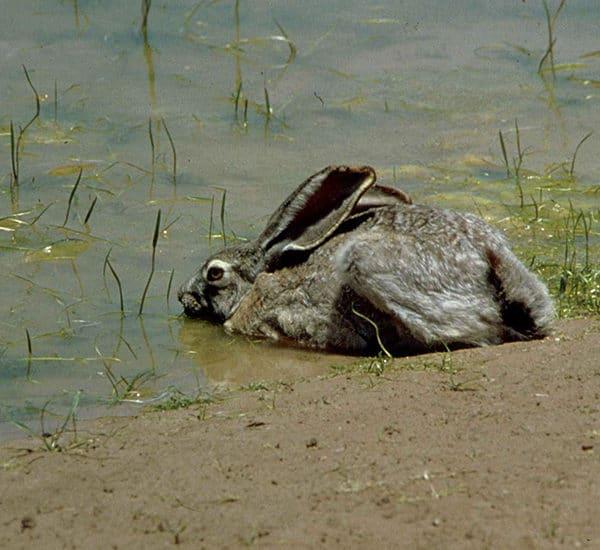 Водяной заяц