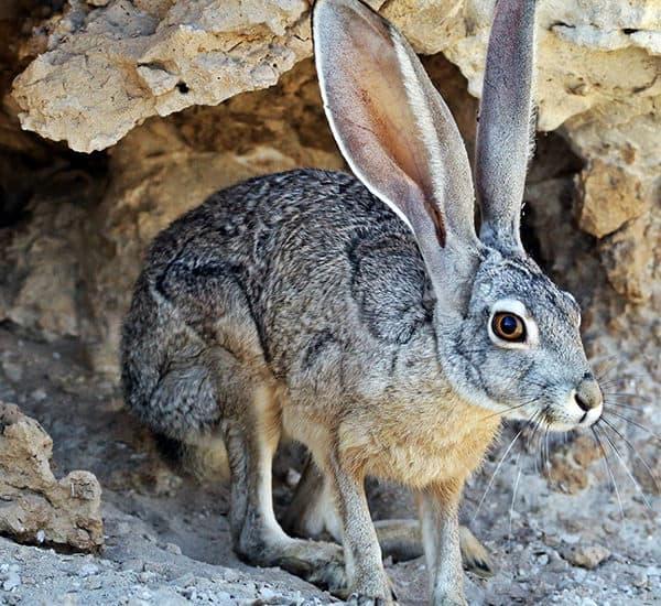 Антилоповый заяц